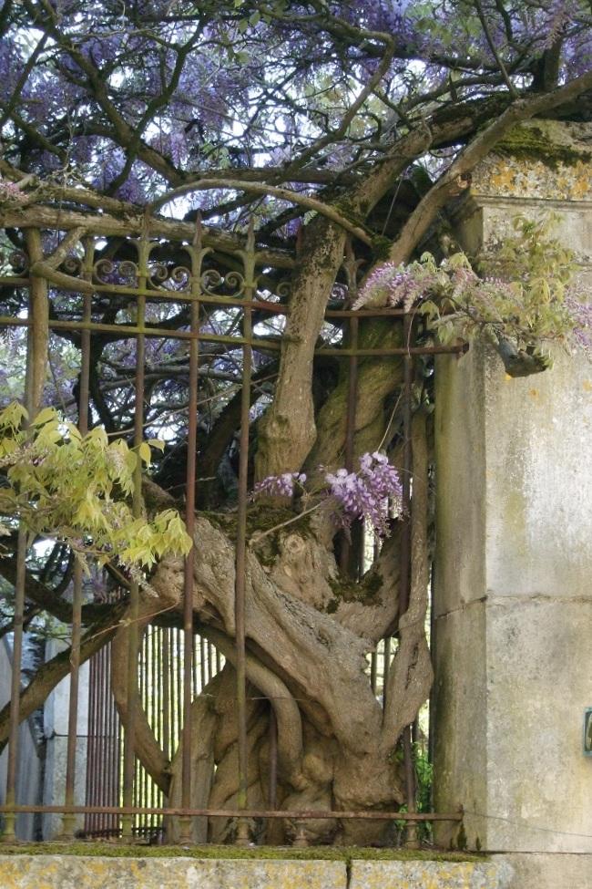3 raisons de rendre la glycine incontournable au jardin for Jardinier conseil
