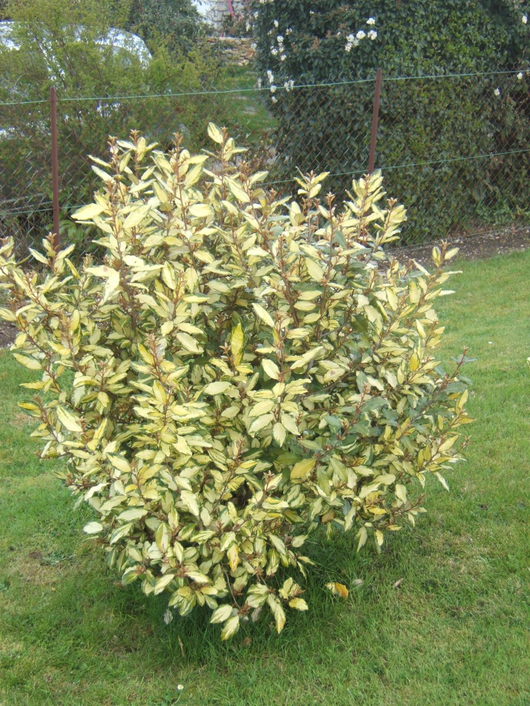 11 choix d arbustes au feuillage d or jardinier conseil for Jardinier conseil