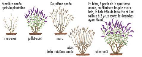 Tailler les arbustes ornementaux c est facile jardinier conseil - Taille des arbustes ...