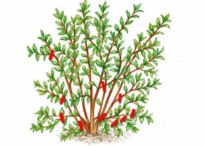 Tailler les arbustes ornementaux c est facile jardinier conseil - Periode taille laurier rose ...