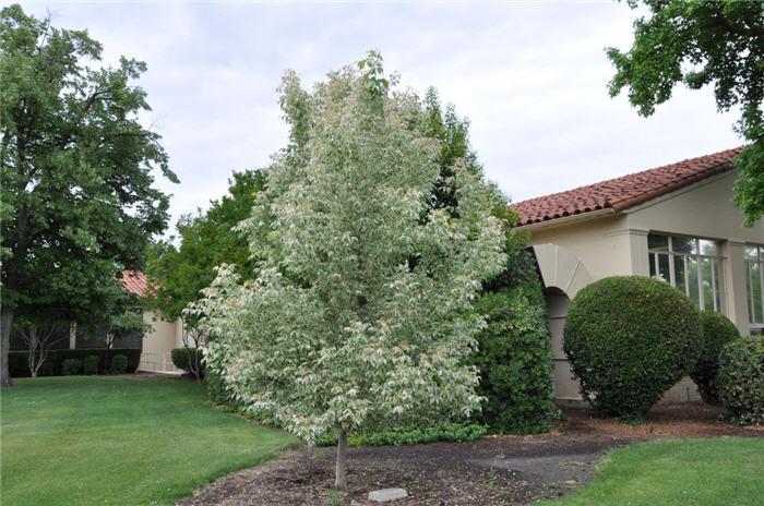 10 choix d arbres pour petits jardins jardinier conseil. Black Bedroom Furniture Sets. Home Design Ideas