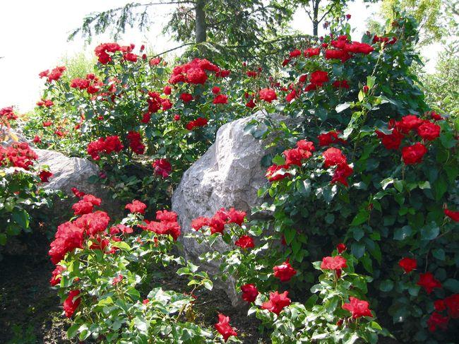 Les rosiers paysagers un succ s garanti jardinier conseil for Rosier grimpant vesuvia