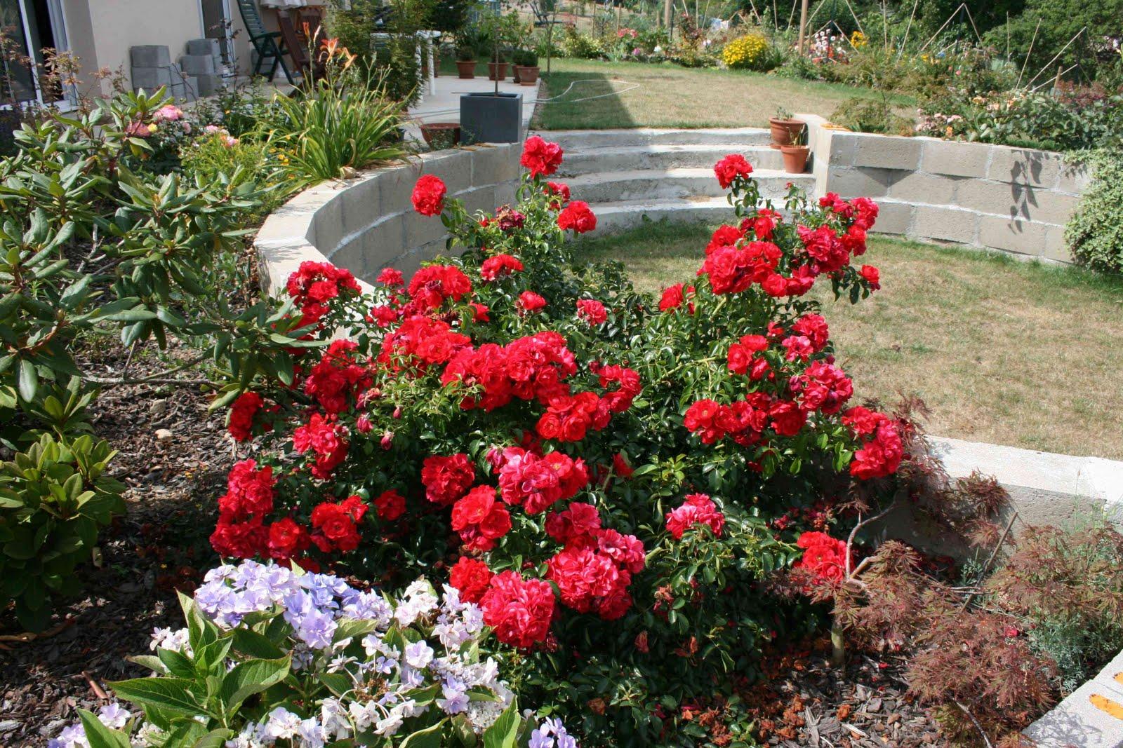 Les rosiers paysagers un succ s garanti jardinier conseil for Jardinier conseil