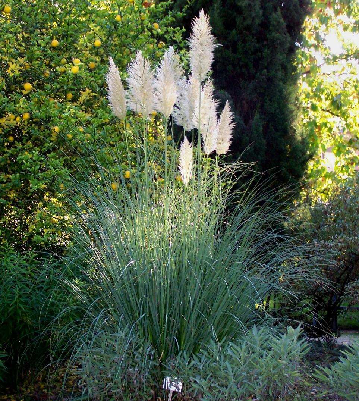 Majestueuse herbe de la pampa jardinier conseil for Conseil du jardinier